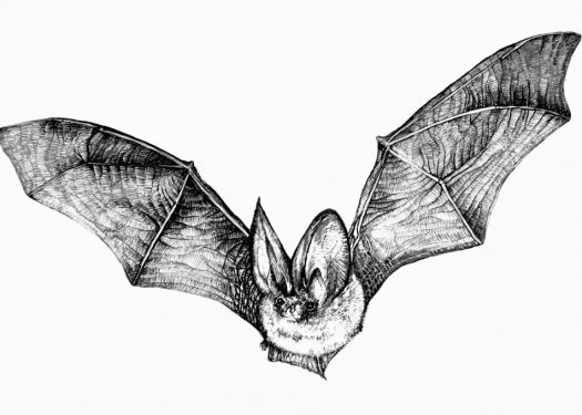 Bat Rendering